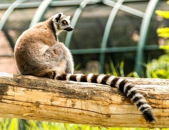 ring-tailed-lemur-828059_640.jpg